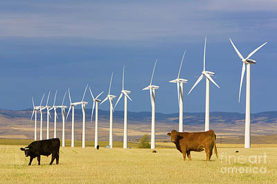 Cattle And Windmills Alberta Canada Print by