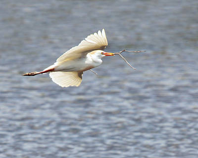 Cattle Egret In Flight Print by Dawn Currie