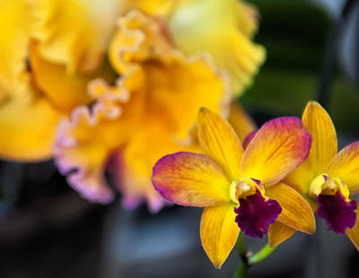 Cattleya Orchid Print by Chris Flees