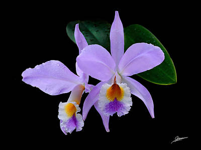 Cattleya Orchids Print by Phil Jensen