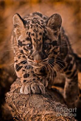 Clouded Leopard Photograph - Cautious Advance by Ashley Vincent