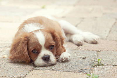 Cavalier Puppy Print by Kay Pickens