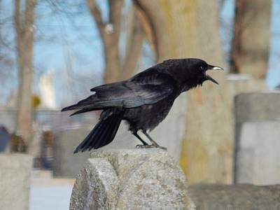 Ravens In Graveyard Photograph - Caw Caw Caw by Gothicrow Images