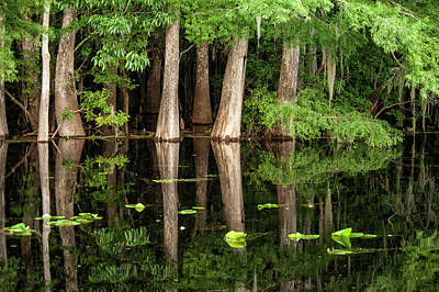 Cypress Swamp Photograph - Cedar Trees In Suwannee River, Florida by Sheila Haddad