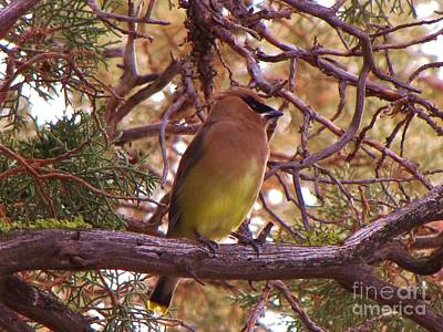 Cedar Wax Wing In Juniper Print by Michele Penner