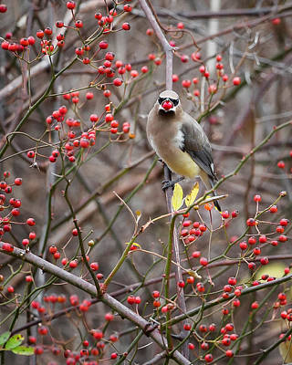 Cedar Waxwing Photograph - Cedar Waxwing Mouthfull by Bill Wakeley