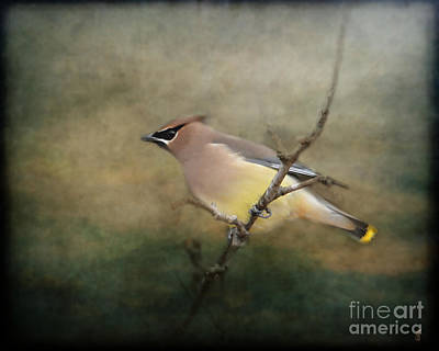 Cedar Waxwing Photograph - Cedar Waxwing Portrait I by Jai Johnson