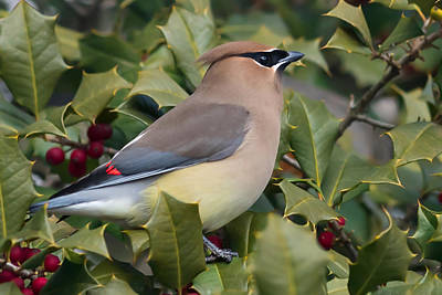 Cedar Waxwing Photograph - Cedar Waxwing Side Profile by Terry DeLuco
