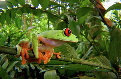Central America Red-eyed Treefrog Print by Andres Morya Hinojosa