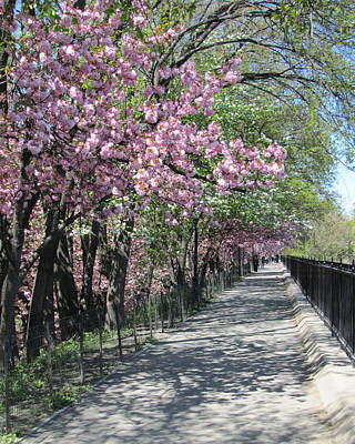 Nyc Photograph - Central Park Cherry Blossoms by Maude Renganeschi