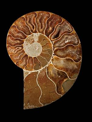 Ammonite Photograph - Ceratites Ammonite Fossil by Lawrence Lawry