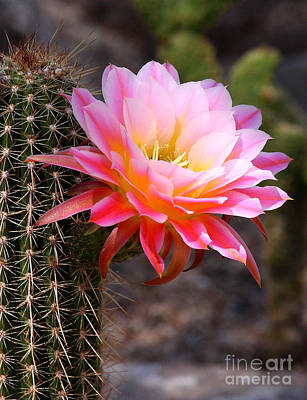 Cereus In Pink Print by Ruth Jolly