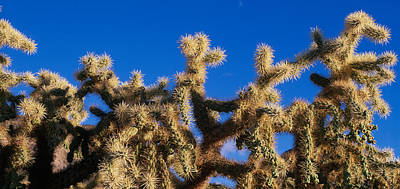 Cholla Photograph - Chainfruit Cholla Cactus Saguaro by Panoramic Images