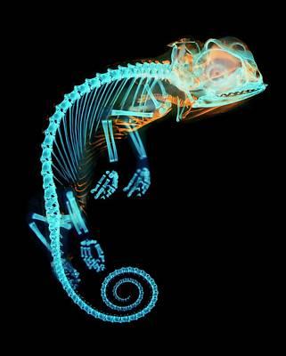 Embryo Photograph - Chameleon Embryo Skeleton by Dorit Hockman