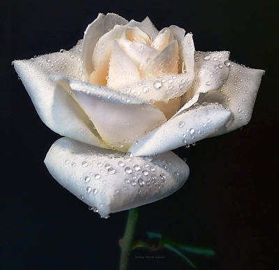 Ivory Rose Photograph - Champagne Rose Flower Macro by Jennie Marie Schell