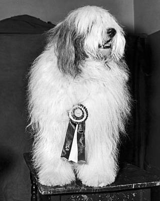 Madison Square Garden Photograph - Champion Sheepdog by Underwood Archives