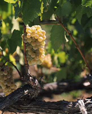 Winemaking Photograph - Chardonnay Grapes In Vineyard, Carneros by Panoramic Images