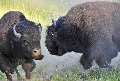 Bison Charge Photograph - Charging Buffalos Fight In Yellowstone by Ginger Wakem