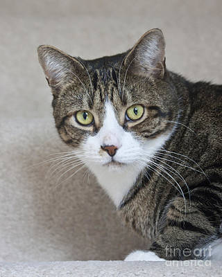 Cat Photograph - Charlie Tabby Cat by Terri Waters
