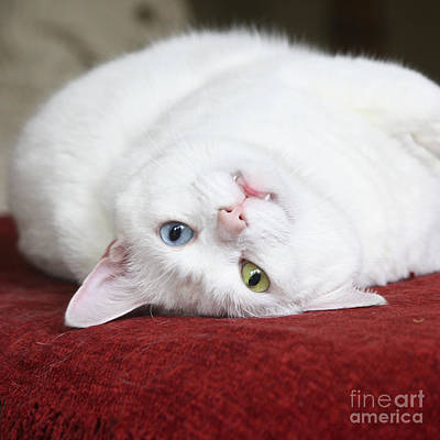 Feline Photograph - Charlie The Deaf White Cat by Terri Waters