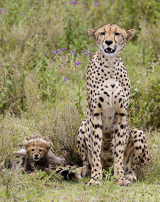 Cheetah  Acinonyx Jubatus Print by Carol Gregory