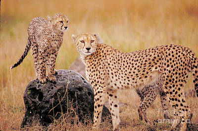 Cheetah And Cubs Print by Gregory G. Dimijian
