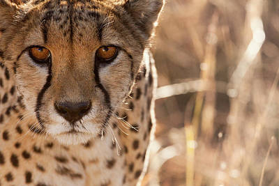 Cheetah Photograph - Cheetah Conservation Fund, Namibia by Janet Muir