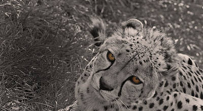 Cheetah Photograph - Cheetah Eyes by Martin Newman