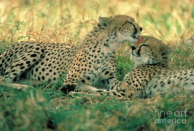 Cheetah Siblings Print by Gregory G. Dimijian