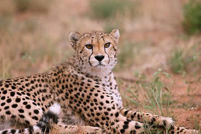 Cheetah Print by Simon Booth