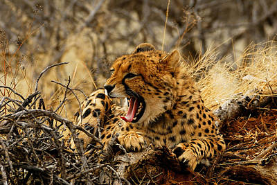 Cheetah Teeth Print by Stefan Carpenter