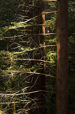 Cheit's Redwoods Print by Larry Darnell