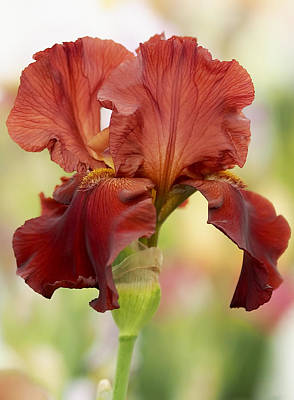 Floral Photograph - Chelsea Iris by Rona Black