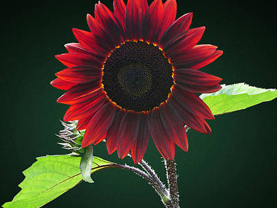 Flower Photograph - Cherry And Chocolate Sunflower by Susan Savad