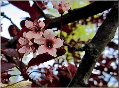 Cherry Blosoms Print by Danielle  Parent