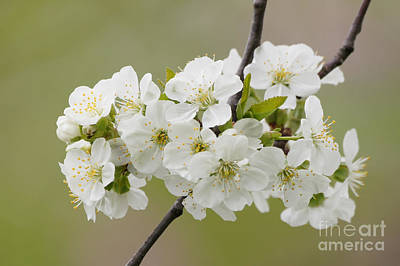 Cherry Blossom Cluster Print by Robert E Alter Reflections of Infinity