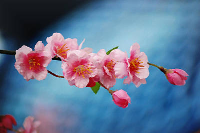 Japanese Cherry Blossoms Painting - Cherry Blossom Painting by Nicole Gardner