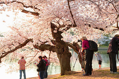 Cherry Blossoms 2013 - 006 Print by Metro DC Photography