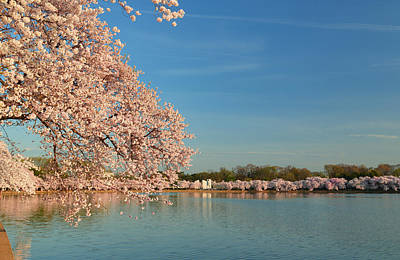 Cherry Blossoms 2013 - 017 Print by Metro DC Photography