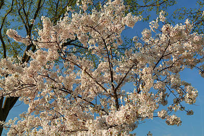 Cherry Trees Photograph - Cherry Blossoms 2013 - 036 by Metro DC Photography