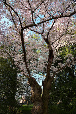 Tidal Photograph - Cherry Blossoms 2013 - 056 by Metro DC Photography