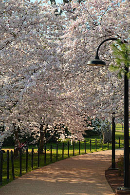 Cherry Blossoms 2013 - 060 Print by Metro DC Photography