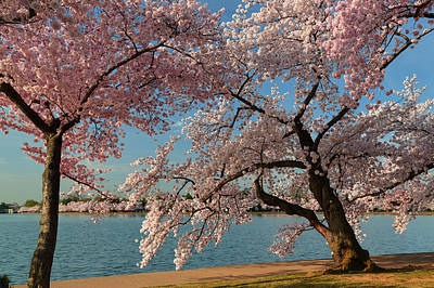 Cherry Blossoms 2013 - 063 Print by Metro DC Photography