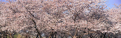 Cherry Blossoms Photograph - Cherry Blossoms Blooming In Springtime by Panoramic Images