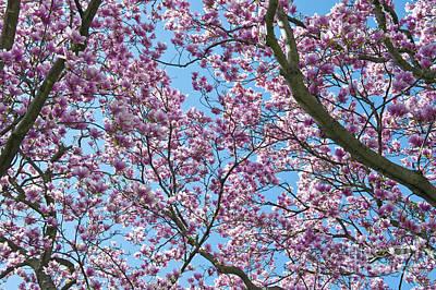 Cherry Blossoms Sakura Washington D.c Print by David Zanzinger