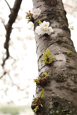 Cherry Blossoms - Washington Dc - 0113107 Print by DC Photographer