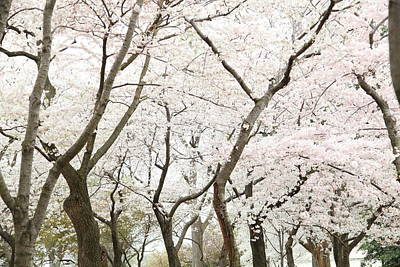 Pink Photograph - Cherry Blossoms - Washington Dc - 0113111 by DC Photographer