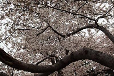Cherry Blossoms - Washington Dc - 0113120 Print by DC Photographer