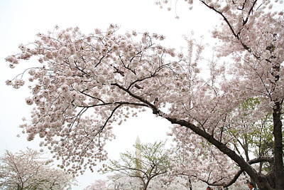 Cherry Blossoms - Washington Dc - 0113122 Print by DC Photographer