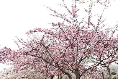 Cherry Blossoms - Washington Dc - 0113123 Print by DC Photographer